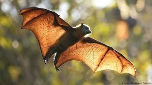 """فيروس جديد يهدد العالم أستراليا تحذر مواطنيها من """" الخفافيش"""""""